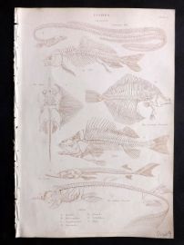 Richardson 1862 Antique Print. Skeletons of Fishes. Perch, Carp
